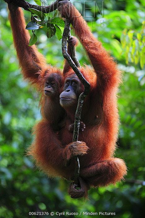Sumatran Orangutan (Pongo abelii) mother and young, Gunung Leuser National Park, Sumatra, Indonesia