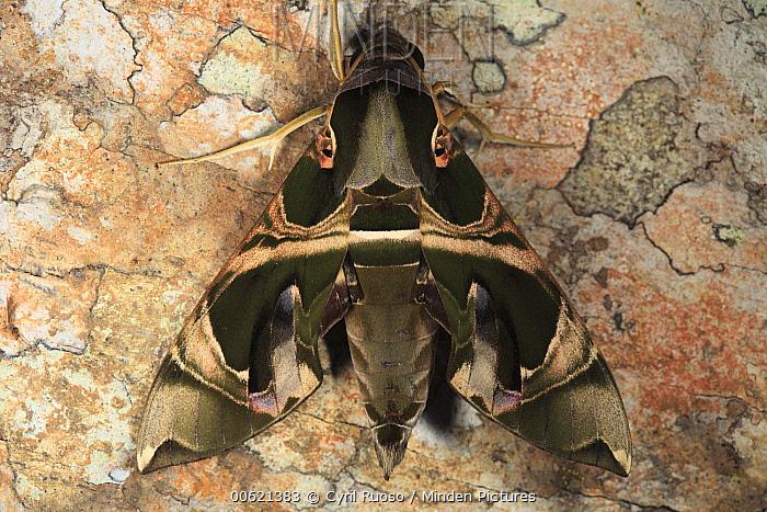 Saturniid Moth (Saturniidae), Way Kambas National Park, Sumatra, Indonesia  -  Cyril Ruoso