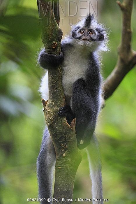 North Sumatran Leaf Monkey (Presbytis thomasi), Gunung Leuser National Park, Sumatra, Indonesia  -  Cyril Ruoso
