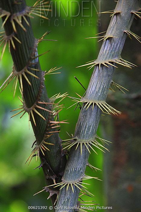 Rattan Palm (Calamus rotang) trunks, Gunung Leuser National Park, Sumatra, Indonesia  -  Cyril Ruoso