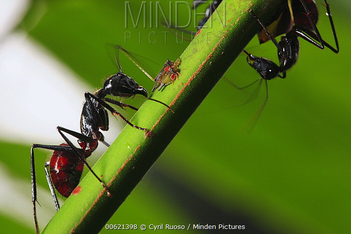 Ant (Formicidae) pair with aphid, Way Kambas National Park, Sumatra, Indonesia  -  Cyril Ruoso