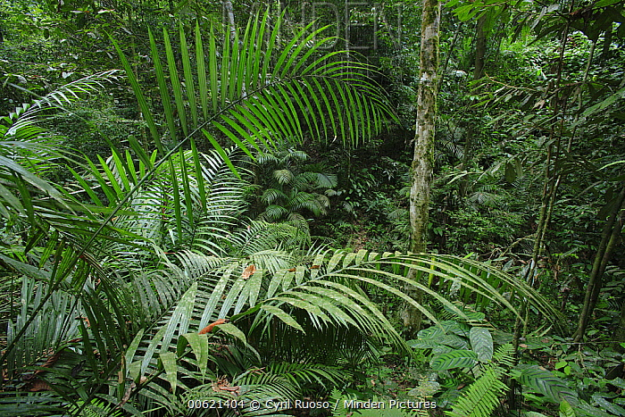 Rainforest interior, Bukit Barisan Selatan National Park, Sumatra, Indonesia  -  Cyril Ruoso