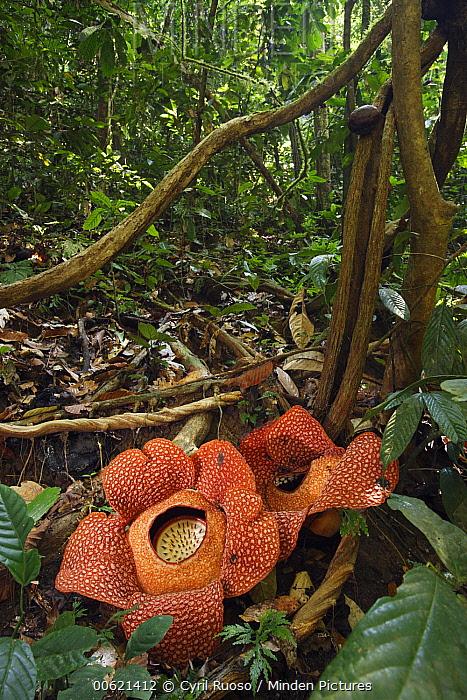 Rafflesia (Rafflesia arnoldii) flowers, Bukit Barisan Selatan National Park, Sumatra, Indonesia  -  Cyril Ruoso