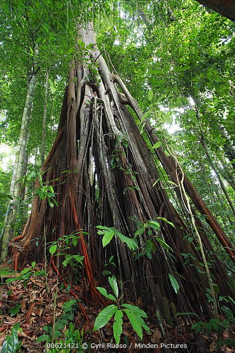 Fig (Ficus sp) tree, Bukit Barisan Selatan National Park, Sumatra, Indonesia  -  Cyril Ruoso