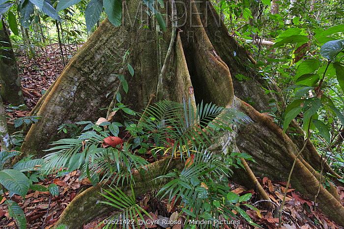 Buttress roots, Bukit Barisan Selatan National Park, Sumatra, Indonesia  -  Cyril Ruoso