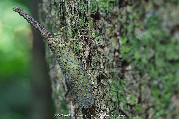 Lantern Bug (Fulgora sp), Gunung Leuser National Park, Sumatra, Indonesia  -  Cyril Ruoso