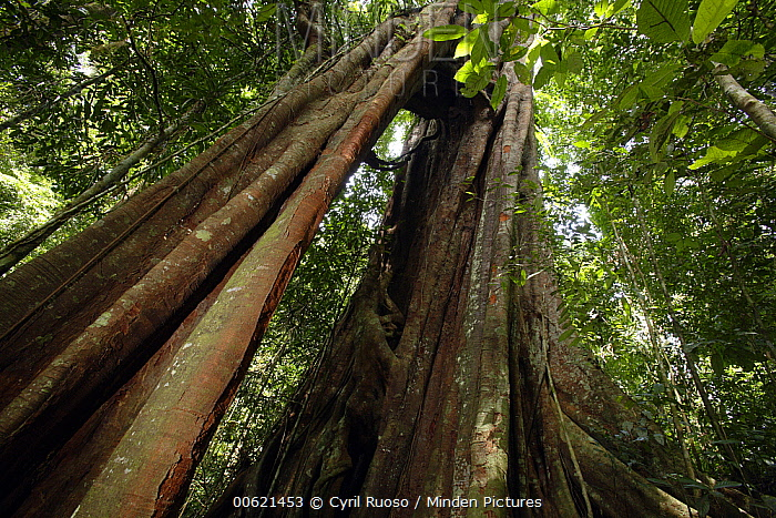 Giant tree with trunk as an arch, Gunung Leuser National Park, Sumatra, Indonesia  -  Cyril Ruoso