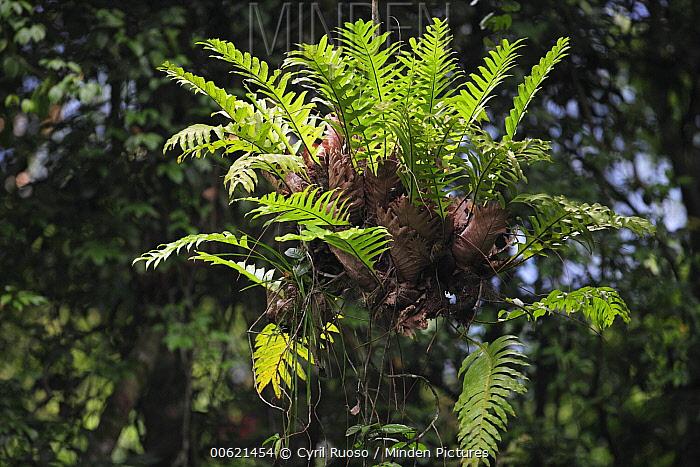 Epiphyte plant, Gunung Leuser National Park, Sumatra, Indonesia  -  Cyril Ruoso