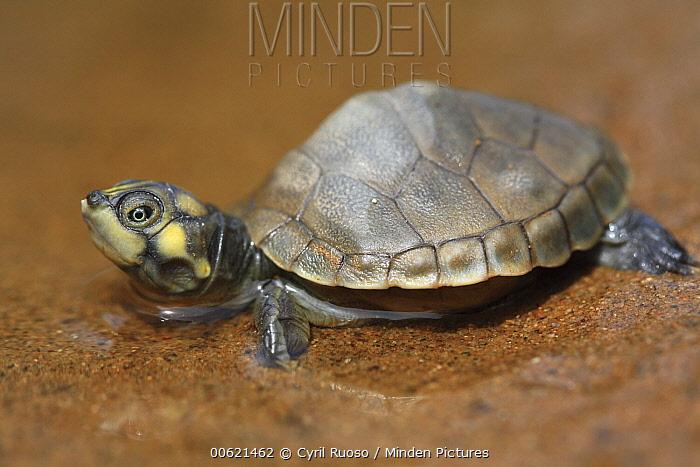 South American River Turtle (Podocnemis expansa) hatchling, part of artificial incubation program, Pacaya Samiria National Park, Peru  -  Cyril Ruoso