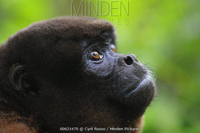 Humboldt's Woolly Monkey (Lagothrix lagotricha) looking up, Icamaperou Sanctuary, Peru  -  Cyril Ruoso