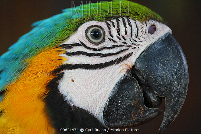 Blue and Yellow Macaw (Ara ararauna), Yurimaguas, Peru  -  Cyril Ruoso