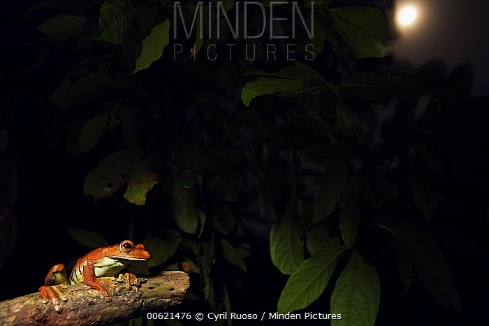 Tree frog (Hylidae) at night with a full moon, Pacaya Samiria National Park, Peru  -  Cyril Ruoso