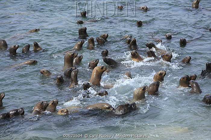 South American Sea Lion (Otaria flavescens) and South American Fur Seal (Arctocephalus australis) group swimming, Point Coles Nature Reserve, Peru  -  Cyril Ruoso