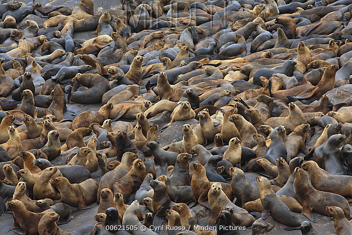 South American Sea Lion (Otaria flavescens) and South American Fur Seal (Arctocephalus australis) colony, Point Coles Nature Reserve, Peru  -  Cyril Ruoso