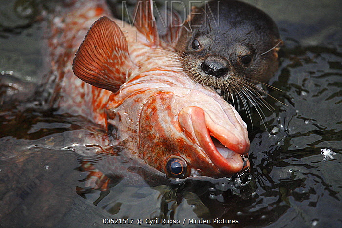 Marine Otter (Lontra felina) with prey, south coast of Peru  -  Cyril Ruoso