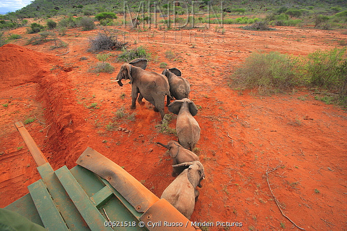 African Elephant (Loxodonta africana) group relocated to Tsavo from Mwaluganje Elephant Sanctuary, Kenya  -  Cyril Ruoso