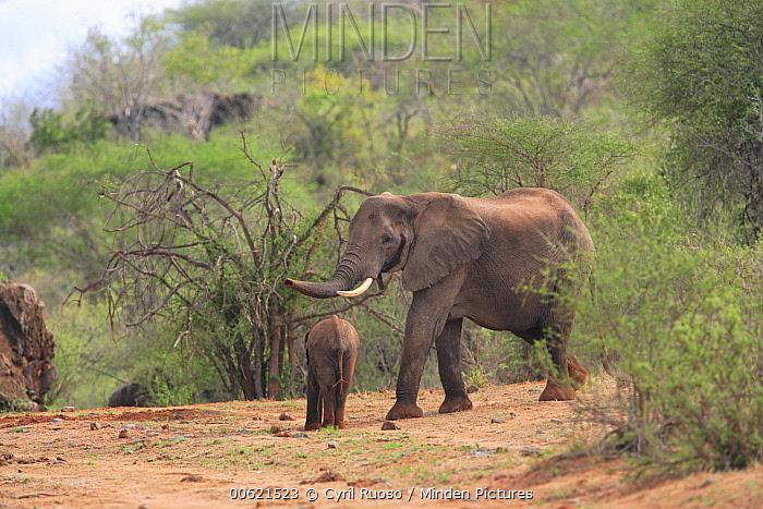 African Elephant (Loxodonta africana) mother and calf relocated to Tsavo from Mwaluganje Elephant Sanctuary, Kenya  -  Cyril Ruoso