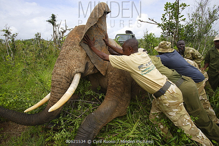African Elephant (Loxodonta africana) which is anesthesized is pushed onto side to avoid suffocation as part of relocation to Tsavo from Mwaluganje Elephant Sanctuary, Kenya  -  Cyril Ruoso