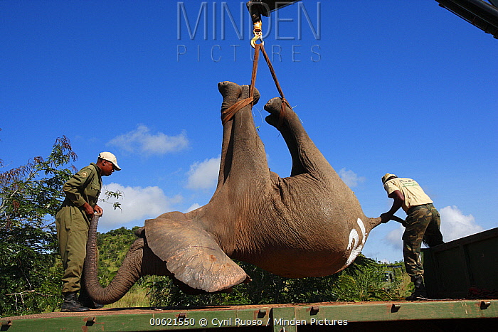African Elephant (Loxodonta africana) loaded from pickup truck to a special truck for relocation to Tsavo from Mwaluganje Elephant Sanctuary, Kenya  -  Cyril Ruoso