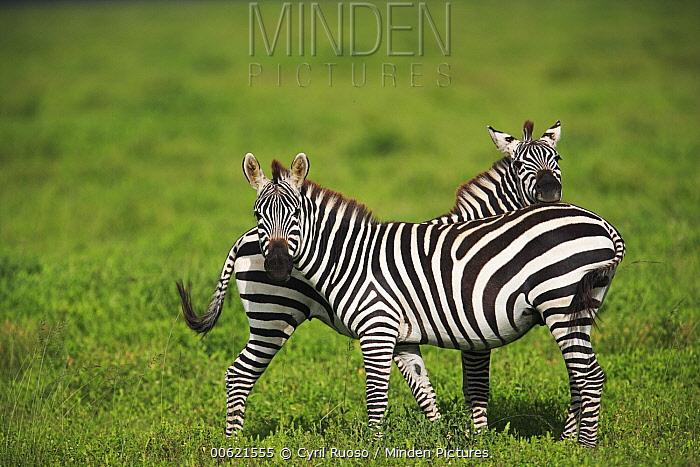 Burchell's Zebra (Equus burchellii) pair, Serengeti National Park, Tanzania  -  Cyril Ruoso
