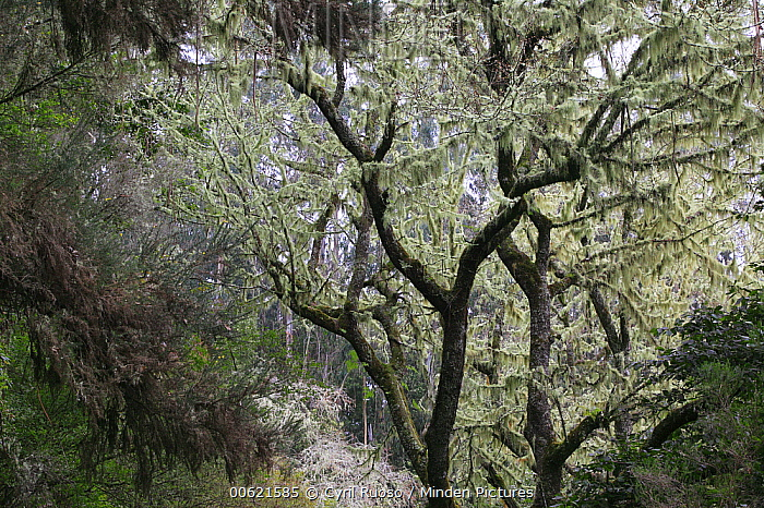 Lichen growing on laurel trees in temperate primary forest called laurisilva, Madeira  -  Cyril Ruoso
