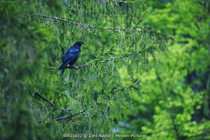 Common Raven (Corvus corax) perching in tree, Austria  -  Cyril Ruoso