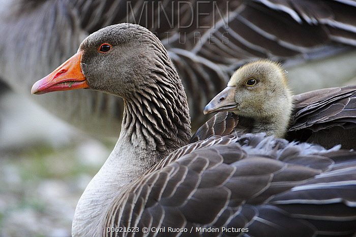 Greylag Goose (Anser anser) female with gosling on her back, Austria  -  Cyril Ruoso