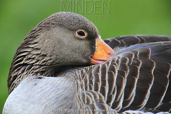 Greylag Goose (Anser anser) resting, Austria  -  Cyril Ruoso