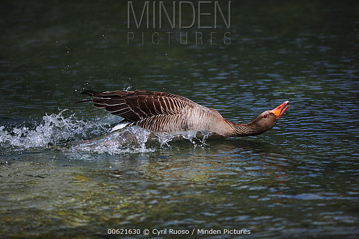 Greylag Goose (Anser anser) male showing aggressive behavior, Austria  -  Cyril Ruoso