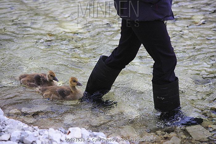 Greylag Goose (Anser anser) goslings following biologist, an example of imprinting, Konrad Lorentz Institute, Austria  -  Cyril Ruoso