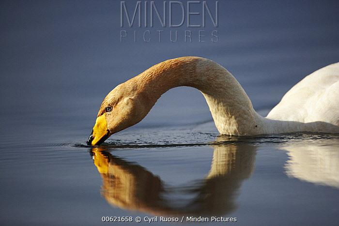 Whooper Swan (Cygnus cygnus), Iceland  -  Cyril Ruoso