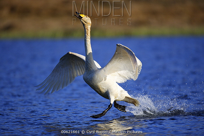 Whooper Swan (Cygnus cygnus) male chasing intruder from nesting area, east Iceland  -  Cyril Ruoso