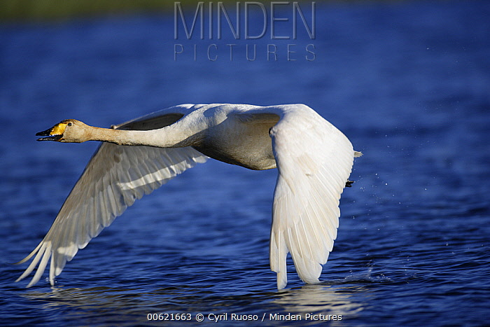 Whooper Swan (Cygnus cygnus) flying low over the water, east Iceland  -  Cyril Ruoso