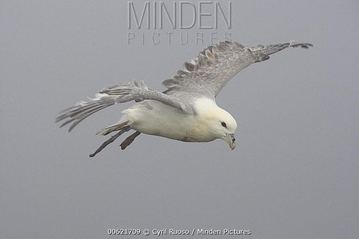 Northern Fulmar (Fulmarus glacialis) flying in mist, Latrabjarg Cliff, West Fjords, Iceland  -  Cyril Ruoso