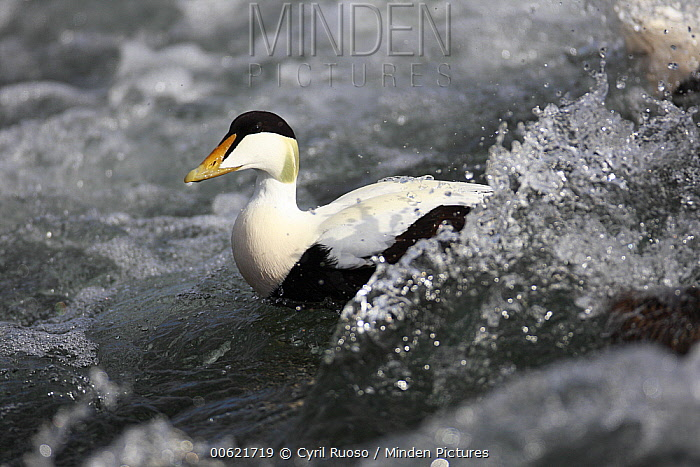 Common Eider (Somateria mollissima) male in a torrent, Iceland  -  Cyril Ruoso