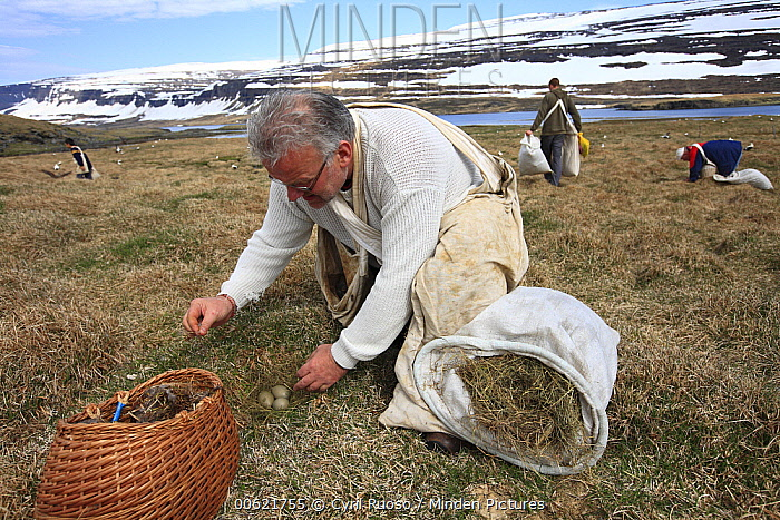 Common Eider (Somateria mollissima) down is replaced by hay during down collection on Aedey Island, Iceland  -  Cyril Ruoso