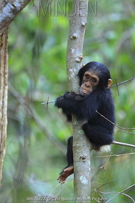 Eastern Chimpanzee (Pan troglodytes schweinfurthii) young holding a tree, Gombe National Park, Tanzania  -  Cyril Ruoso
