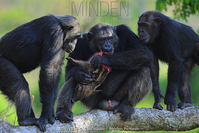 Eastern Chimpanzee (Pan troglodytes schweinfurthii) , Frodo the dominant male and hunter, eating a Red River Hog (Potamochoerus porcus) piglet with two females begging, Gombe National Park, Tanzania  -  Cyril Ruoso