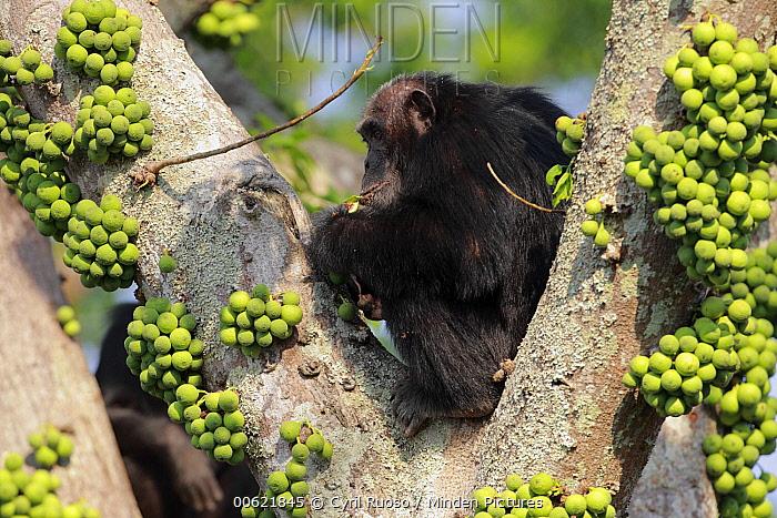 Eastern Chimpanzee (Pan troglodytes schweinfurthii) male in fig tree, Gombe National Park, Tanzania  -  Cyril Ruoso