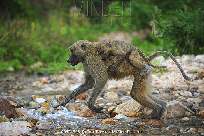 Olive Baboon (Papio anubis) mother with young on her back, Gombe National Park, Tanzania  -  Cyril Ruoso