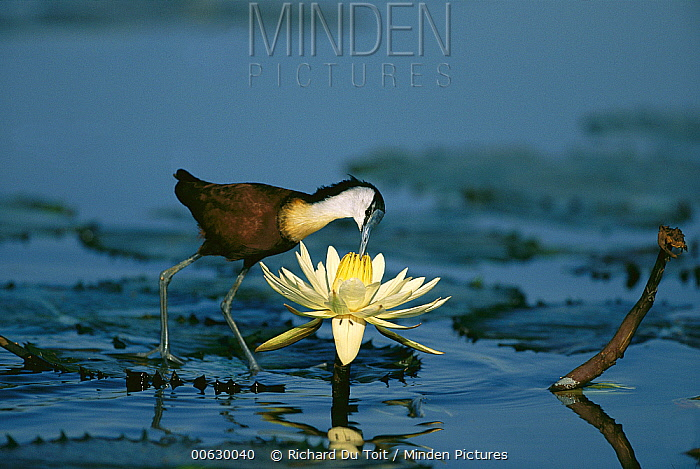 Northern Jacana (Jacana spinosa) in water with flower, Phinda Game Reserve, South Africa  -  Richard Du Toit