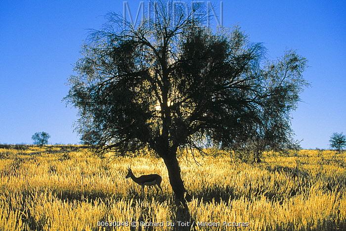 Springbok (Antidorcas marsupialis) grazing under tree, Kalahari Gemsbok Park, South Africa