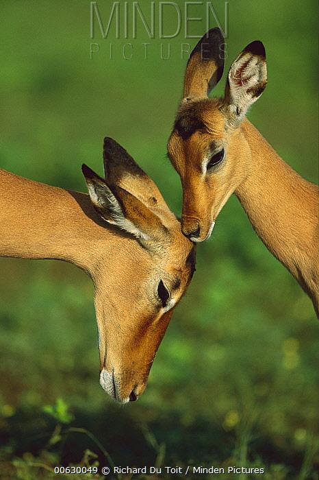 Impala (Aepyceros melampus) pair of females, Moremi Wildlife Reserve, Botswana  -  Richard Du Toit
