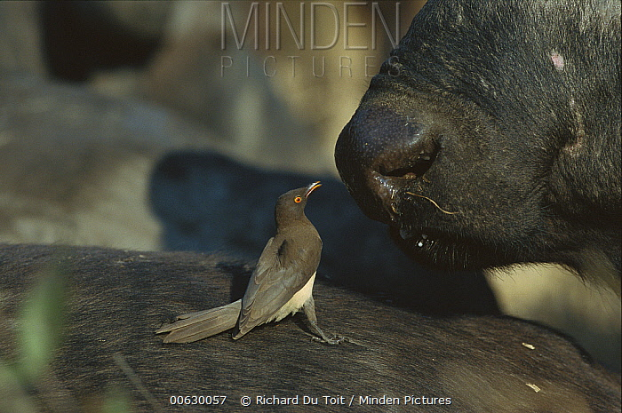 Red-billed Oxpecker (Buphagus erythrorhynchus) juvenile feeding on Cape Buffalo (Syncerus caffer) winter, Sabi Sand Game Reserve, South Africa  -  Richard Du Toit