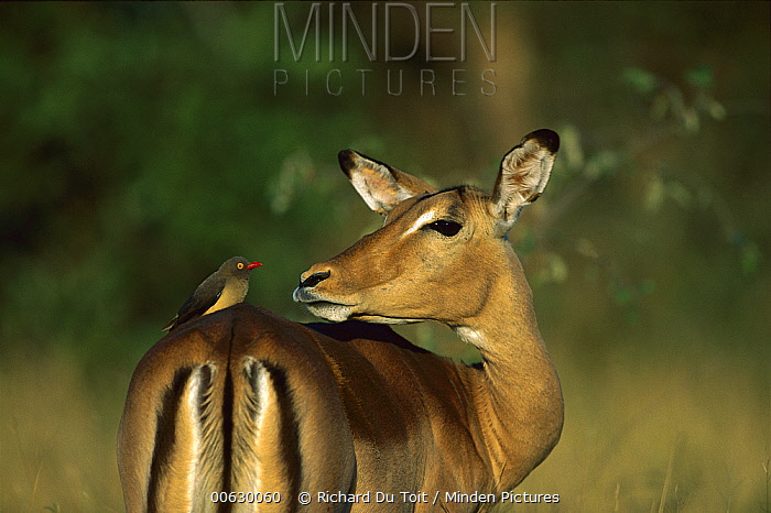 Red-billed Oxpecker (Buphagus erythrorhynchus) on Impala (Aepyceros melampus) female, Kruger National Park, South Africa  -  Richard Du Toit