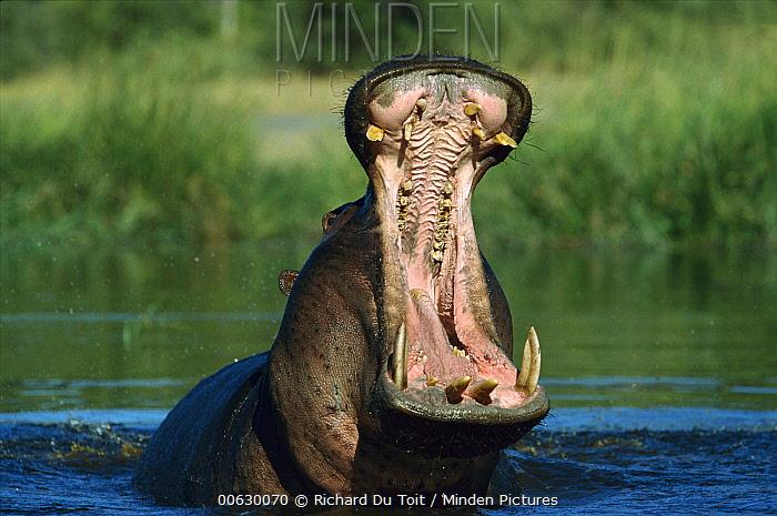 Hippopotamus (Hippopotamus amphibius) threat yawning, Khwai River Botswana  -  Richard Du Toit