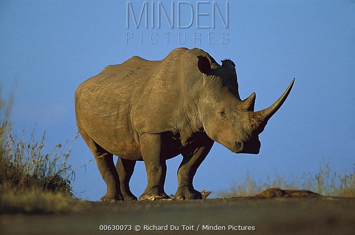 White Rhinoceros (Ceratotherium simum) portrait, Itala Game Reserve, South Africa  -  Richard Du Toit
