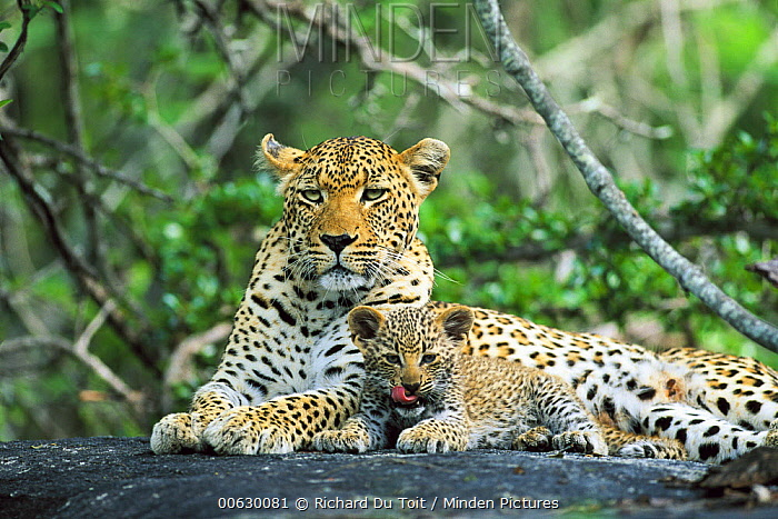 Leopard (Panthera pardus) mother and kitten, Sabi Sand Game Reserve South Africa