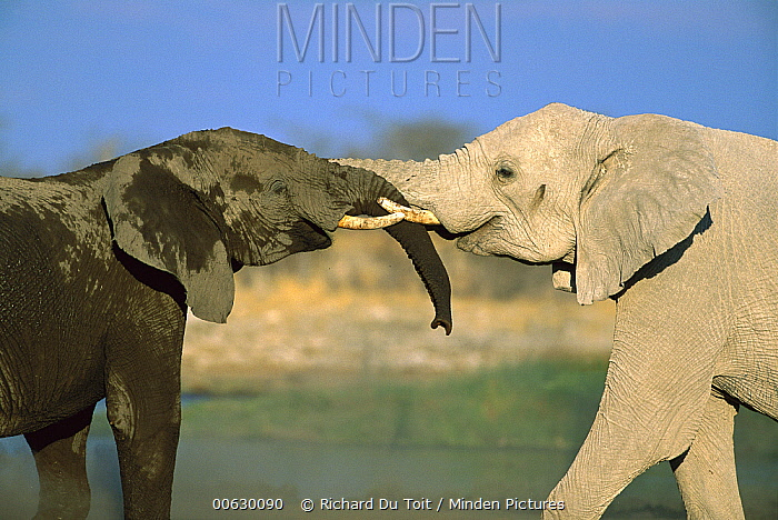 African Elephant (Loxodonta africana) two interacting with each other at water hole, Etosha National Park, Namibia  -  Richard Du Toit