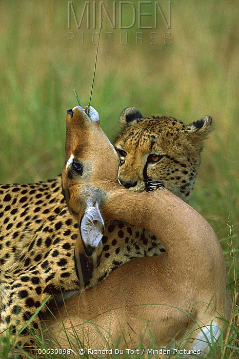 Cheetah (Acinonyx jubatus) adult female strangling an Impala (Aepyceros melampus) female, Phinda Game Reserve, South Africa  -  Richard Du Toit